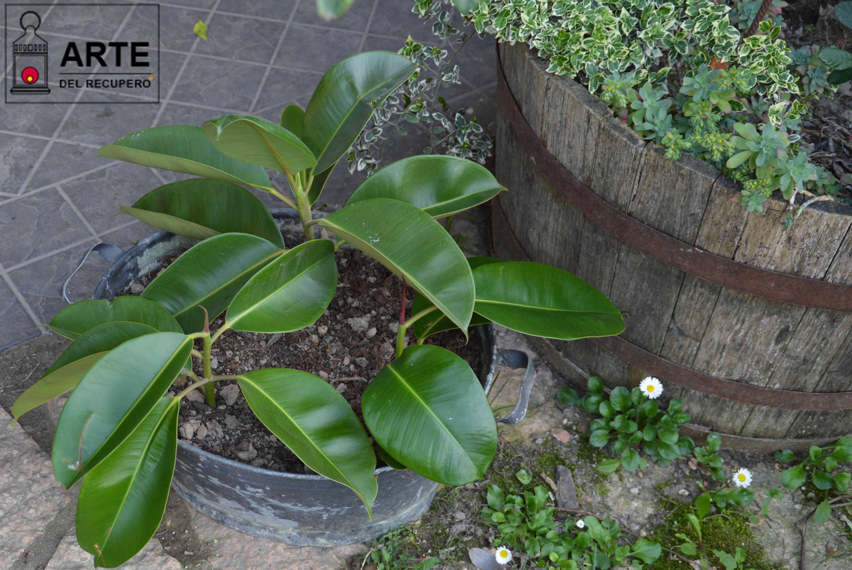 Potare Il Ficus Elastica ficus elastica o del caucciù. moltiplichiamola per talea